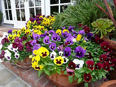 pansy color.jpg