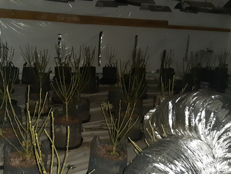 Police raid on Loughton cannabis factory comes too late - crop already harvested