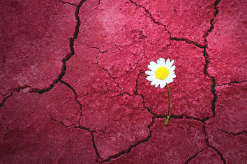 Resilience: daisy growing through red concrete