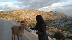 Deer in Mt Parthitha, Athens