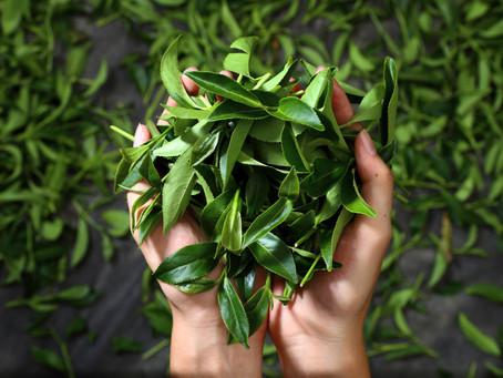絕品茶香 由山入世 伊松坊將大禹嶺純正好茶獻予全世界
