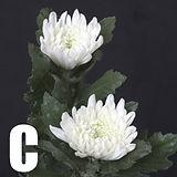 開花菊Cタイプ