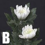 開花菊Bタイプ