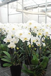 産地で出荷を待つ白い胡蝶蘭