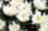 葬儀用デンファレと白菊