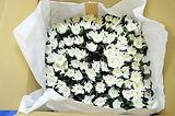 開花菊の梱包