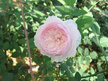 ローズファームケイジの和バラ(ピンク)