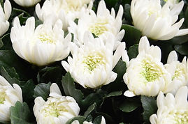 JA愛知みなみの年間予対白菊