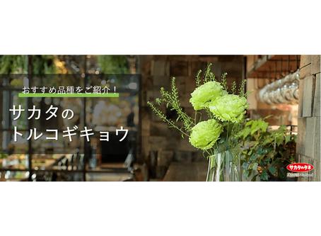 トルコギキョウ「アンバーダブル モヒート」とおすすめのフリンジ品種