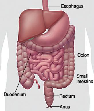 gastroenterologie-organe