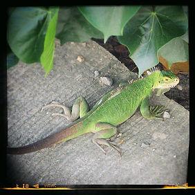 Iguane | St Barth | Pépinière Les Lataniers