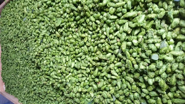 Hops drying in oast 2016_edited.jpg