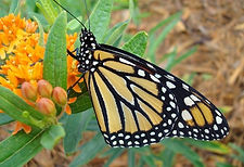 Monarch butterfly.jpg