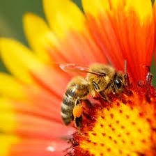bee and flower.jpg