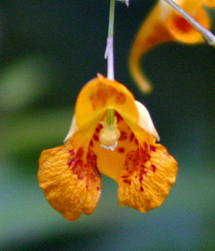 Jewelweed Spray (poison ivy soother)