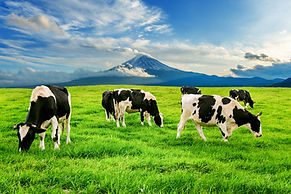 Cows eating lush grass on the green fiel