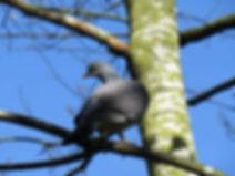 A1 bird Wood Pigeon.JPG