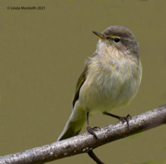 Willow Warbler-2.png