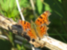 A10 insect Comma.JPG