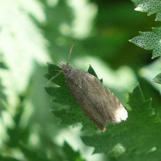 Pea Moth.jpeg