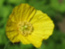 A17 plant Welsh Poppy.jpg