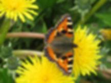 A9 insect Small Tortoiseshell.jpg