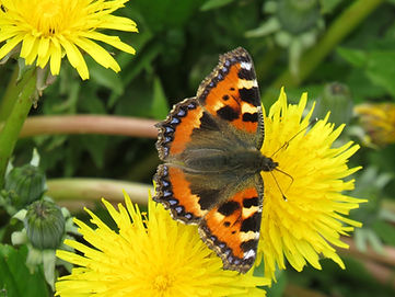 A9 insect Small Tortoiseshell.jpg