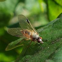 Fleck-winged Snipefly.jpg