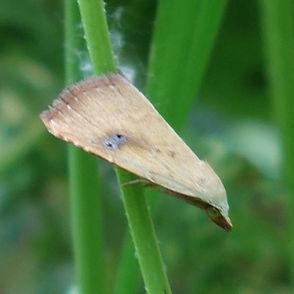 Straw Dot Moth_.jpg