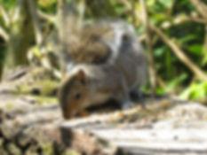 A7 mammal Grey Squirrel.JPG