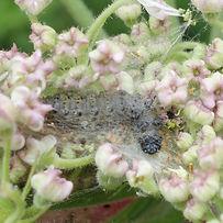 Parsnip Moth.jpg