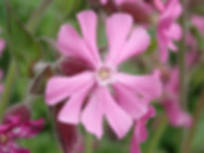 A15 plant Red Campion.jpg
