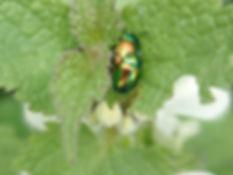 A11 insect Dead-nettle Leaf Beetle.jpg