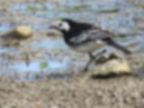 A5 bird Pied W agtail.jpg