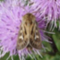 Antler Moth.jpg