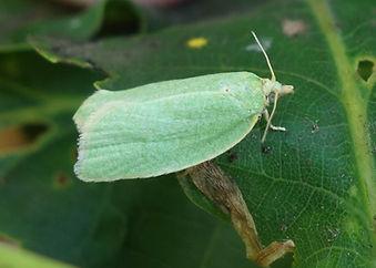 Green Oak Tortrix _.jpg