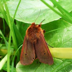 Ruby Tiger Moth.jpg