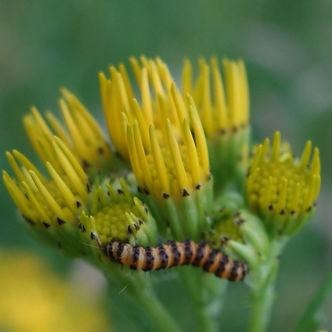 Cinnibar Caterpillar.jpeg