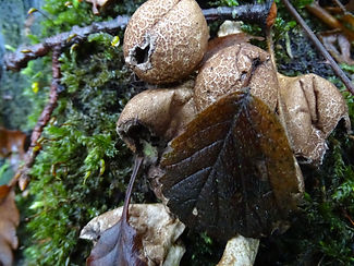 0912-1327-23 stump puffball.jpg