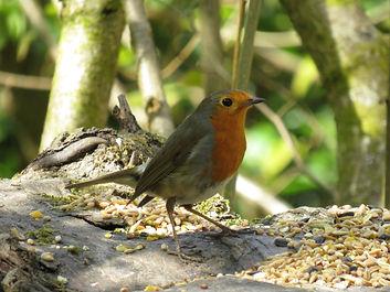 A4 bird Robin.jpg