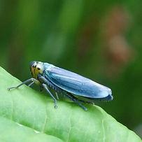 Cicadella viridis (m).jpg