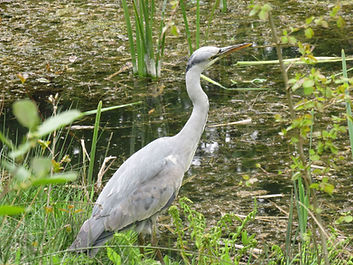 A2 bird Grey Heron.jpg