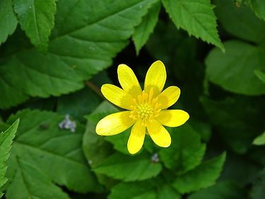 A18 plant Lesser Celandine.jpg