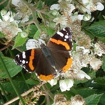 Red Admiral.jpeg