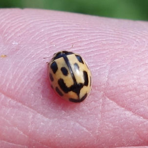 14-spot Ladybird.jpg