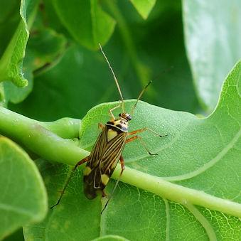 Plant Bug Rhabdomiris striatellus.jpg