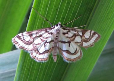 Beautiful China-mark Moth.jpg