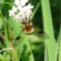 Hoverfly Leucozona lucorum.jpg