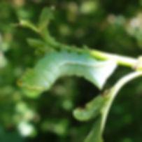 Copper Underwing Caterpillar.jpg