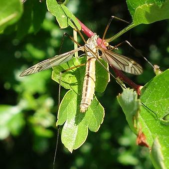 Cranefly Tipula vernalis.jpg
